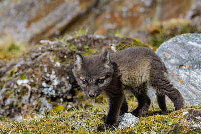 Arctic Fox Pup Near Den