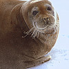 Bearded Seal - by Susan Rich - July 7, 2017