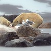 Mother and cub on whale carcass - by Susan Rich - July 5, 2017