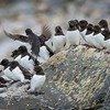 Colony of Little Auks (also called Dovekie). Svalbard Islands in the Norwegian Arctic. By Scott Davis in 2014.
