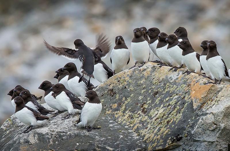 Colony of Little Auks (also called Dovekie). Svalbard Islands in the Norwegian Arctic. By Scott Davis in 2014.