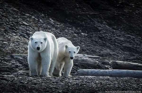 Polar Bears on the Svalbard Islands in the Norwegian Arctic. By Scott Davis in 2014.