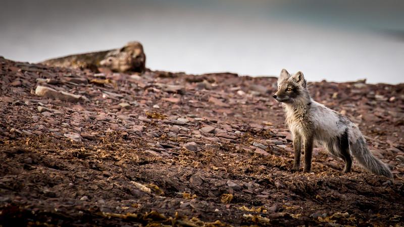 Fox Alert