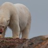 Polar Bear gets a meal. Svalbard Islands in the Norwegian Arctic. By Scott Davis in 2014.
