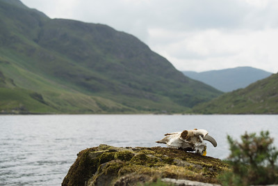 Skull of a sheep overlooking the lake