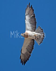 Swainson's Hawk-89