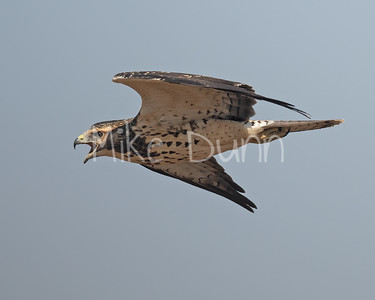 Swainson's Hawk-109