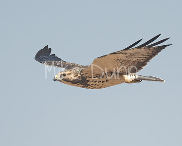 Swainson's Hawk-108