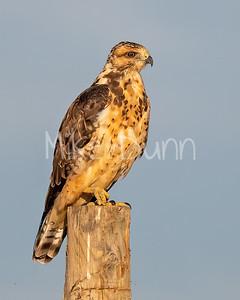 Swainson's Hawk-97