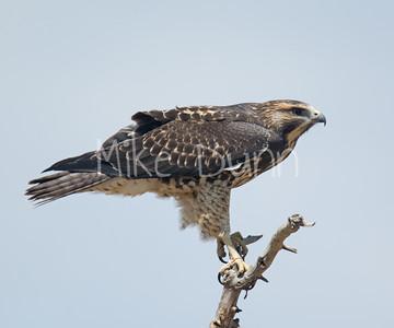 Swainson's Hawk-36