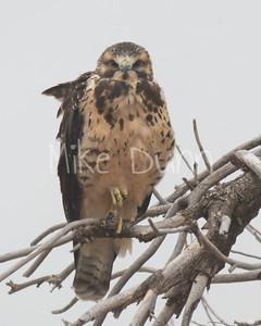 Swainson's Hawk-67