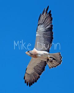 Swainson's Hawk-88