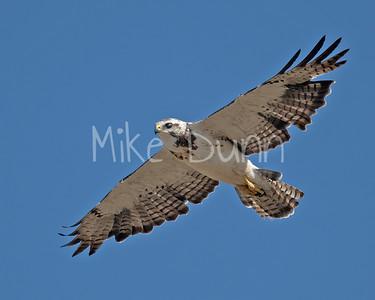 Swainson's Hawk-105