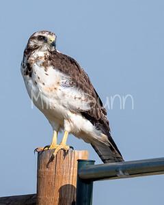 Swainson's Hawk-87