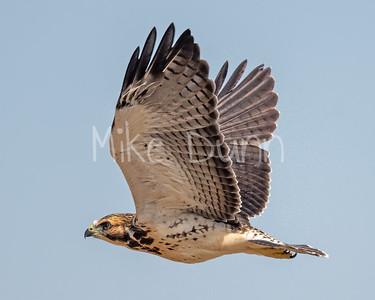 Swainson's Hawk-96