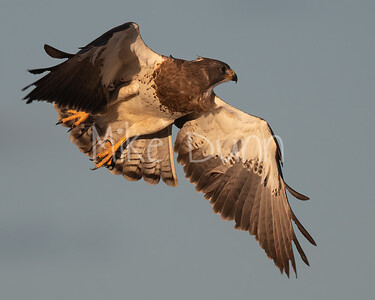 Swainson's Hawk-81