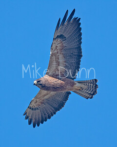Swainson's Hawk-78