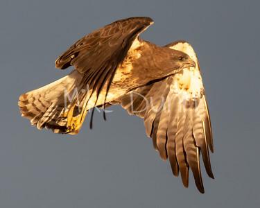 Swainson's Hawk-94