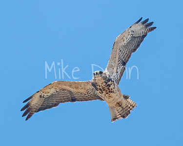 Swainson's Hawk-131