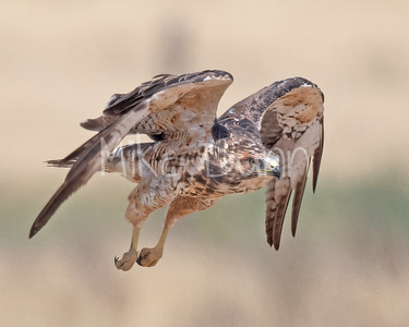 Swainson's Hawk-101