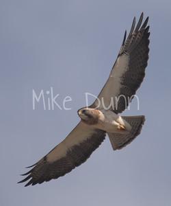 Swainson's Hawk-46