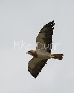 Swainson's Hawk-17