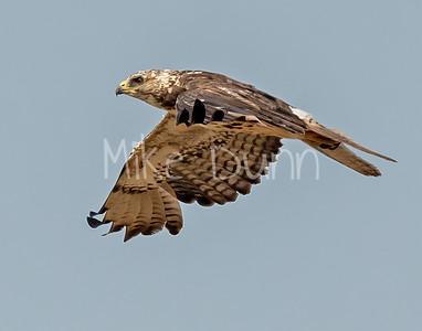 Swainson's Hawk-120