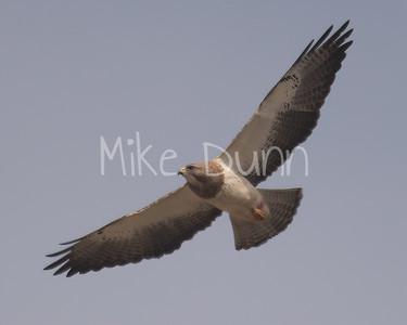 Swainson's Hawk-44