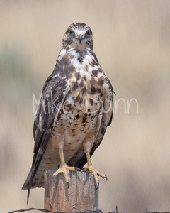 Swainson's Hawk-113
