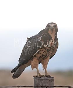 Swainson's Hawk-13