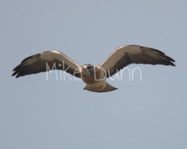 Swainson's Hawk-42