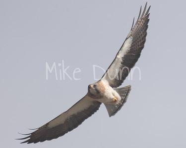 Swainson's Hawk-45