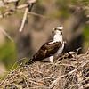 Nesting Osprey 4008
