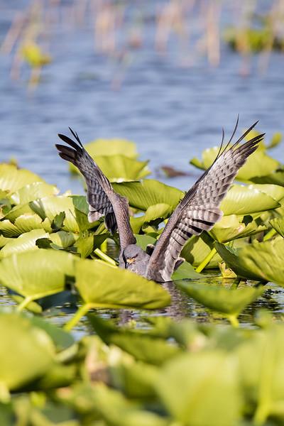 Kite Catching Prey 4847