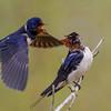Barn Swallow - Landsvale