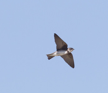 Bank Swallow Klondike Lake 2016 08 16-5.CR2