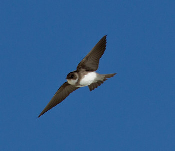 Bank Swallow  Crowley Lake 2013 04 25 (1 of 4).CR2