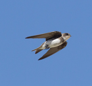 Bank Swallow Klondike Lake 2016 08 16-1.CR2