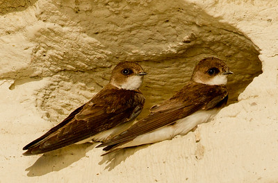 Bank Swallow  Crowley Lake 2013 05 20 (2 of 8).CR2