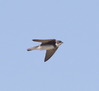 Bank Swallow Klondike Lake 2016 08 16-4.CR2