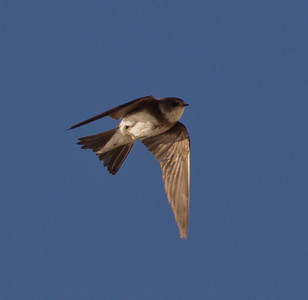 Bank Swallow  Crowley Lake 2013 05 20 (5 of 8).CR2