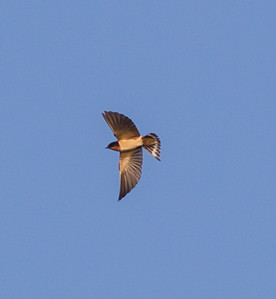 Barn  Swallows Fort Rosecrans 2014 09 09  (2 of 2).CR2