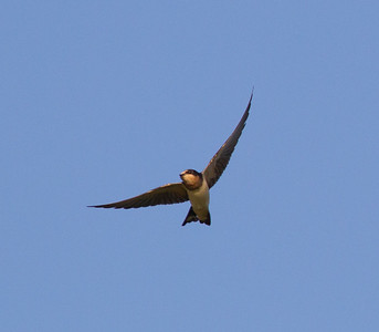 Barn  Swallows Fort Rosecrans 2014 09 09  (1 of 2).CR2