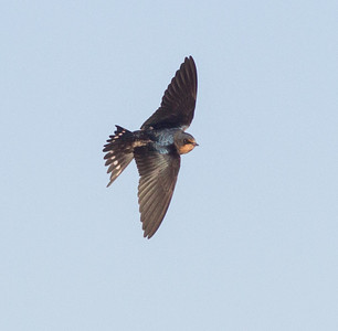 Barn Swallow Crowley Lake 2014 09 20 (1 of 3).CR2