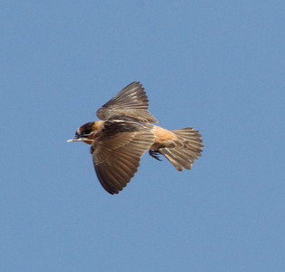 Cave Swallow South Texas 2012-4.CR2