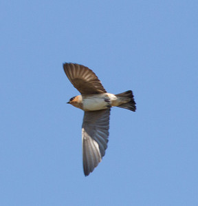 Cave Swallow South Texas 2012-1.CR2