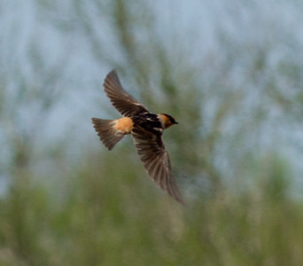Cave Swallow South Texas 2012-5.CR2
