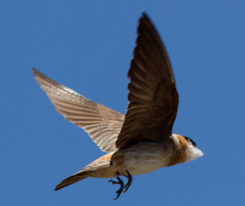 Cave Swallow South Texas 2012-2.CR2