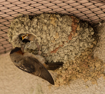 Cliff Swallows Mono Lake 2011 07 15-4.CR2
