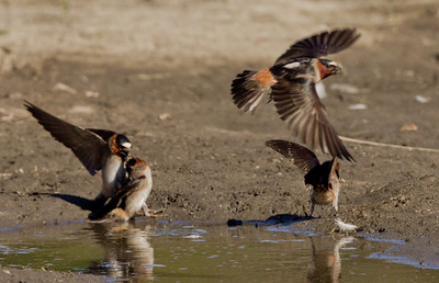 Cliff Swallows San Dieguito Lagoon 2011 06 05-4.CR2